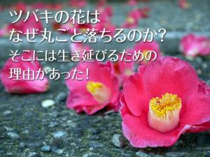ツバキの花はなぜ丸ごと落ちるのか?
