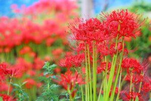 彼岸花は最低気温が20度前後で開花する。