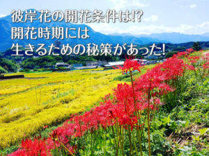 彼岸花の開花時期